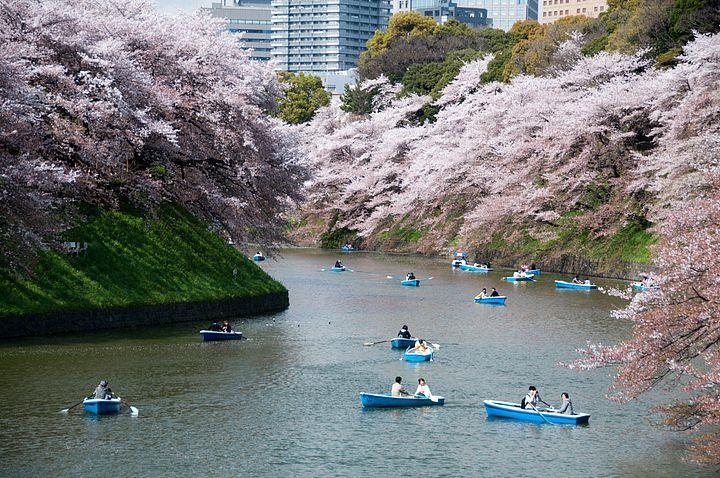 Barche nel fiume con i fiori di ciliegio